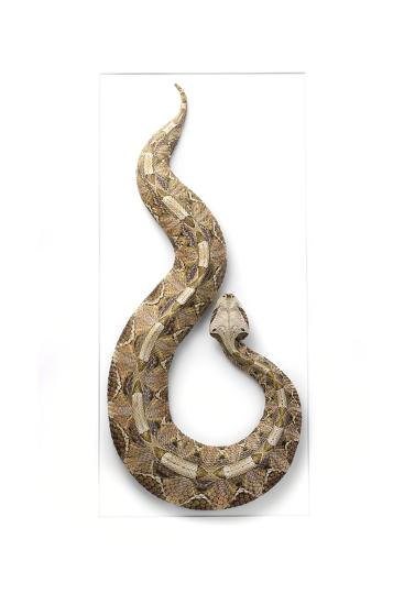 Gaboon Viper-Christopher Marley-Photographic Print