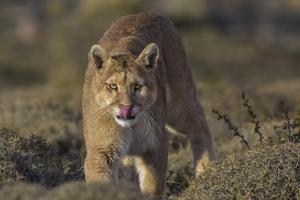 Puma (Puma Concolor) in High Altitude Habitat, Torres Del Paine National Park, Chile by Gabriel Rojo