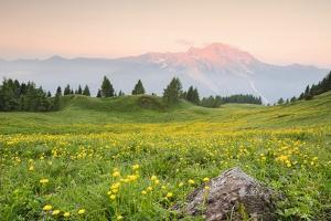 The Mount Bivera Emerges Dawn behind a Spectacular Bloom of Yellow Buttercups, Alpi Carniche , Friu by Gabriele Bano