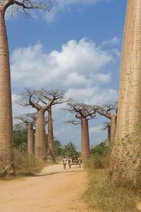 Alley of the Baobabs (Adansonia Grandidieri), Morondava, Madagascar, Africa by Gabrielle and Michel Therin-Weise