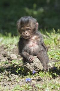 Baby Gelada Baboon (Theropithecus Gelada) by Gabrielle and Michel Therin-Weise