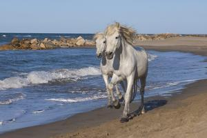 Camargue Horses Running on the Beach, Bouches Du Rhone, Provence, France, Europe by Gabrielle and Michel Therin-Weise