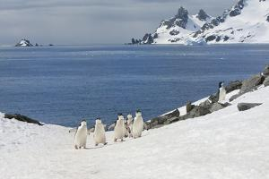 Chinstrap Penguins (Pygoscelis Antarctica) Walking Up a Glacial Ice Cap by Gabrielle and Michel Therin-Weise