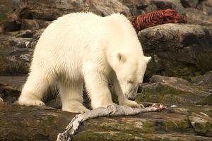 Polar Bear Feeding on a Seal Carcass, Button Islands, Labrador, Canada, North America by Gabrielle and Michel Therin-Weise
