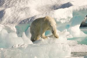Polar Bear on Floating Ice, Davis Strait, Labrador See, Labrador, Canada, North America by Gabrielle and Michel Therin-Weise