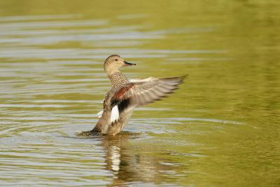 Gadwall (Anas Strepera) Female Duck Stretching Wings on Rutland Water, Rutland, UK, April-Terry Whittaker-Photographic Print