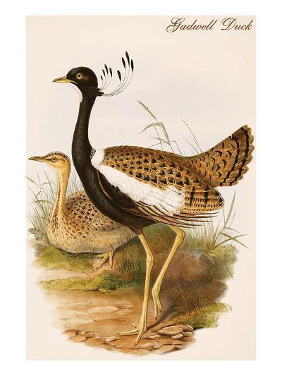 Gadwell Duck-John Gould-Art Print