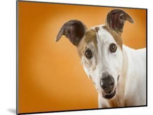 Jack Russell Terrier by Gaetano
