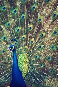 Royally Blue I by Gail Peck