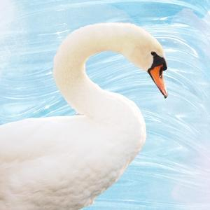 White Swan by Gail Peck