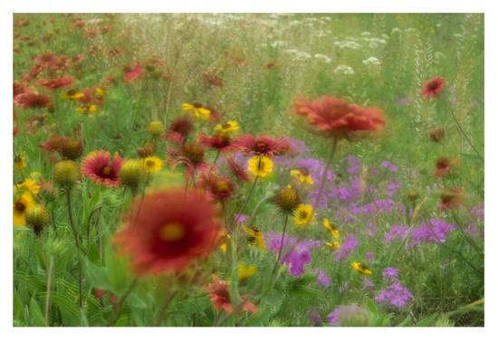 Gaillardia, coreopsis and pointed phlox, blowing in the wind, Texas-Tim Fitzharris-Art Print