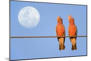 Galah a Pair of Galahs in Love Sit on a Rope