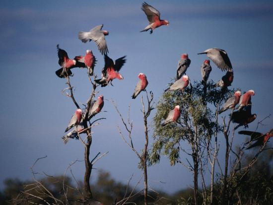 Galahs (Cacatua Roseicapilla), Currawinya National Park, Queensland, Australia-Mitch Reardon-Photographic Print