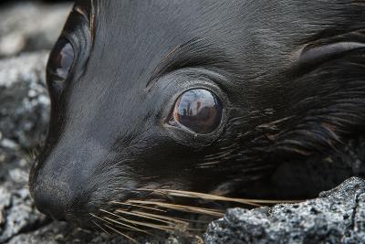 Galapagos Fur Seal, Galapagos Islands, Ecuador-Pete Oxford-Photographic Print