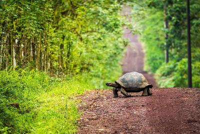 Galapagos Giant Tortoise Crossing Straight Dirt Road- nwdph-Photographic Print