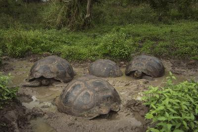 Galapagos Giant Tortoise Santa Cruz Island Galapagos Islands, Ecuador-Pete Oxford-Photographic Print