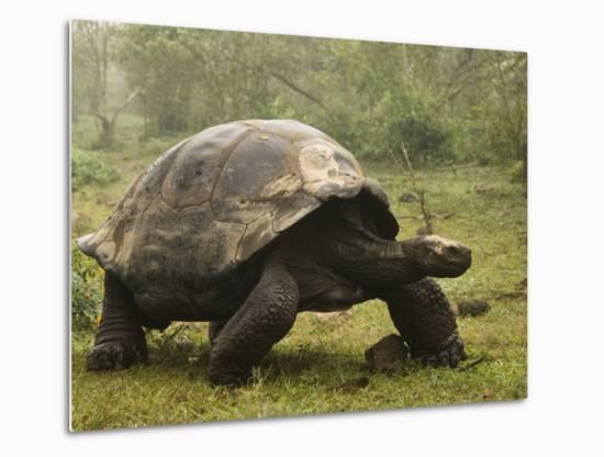 Galapagos Giant Tortoise With Tui De Roy Near Alcedo Volcano, Isabela Island, Galapagos Islands-Pete Oxford-Metal Print