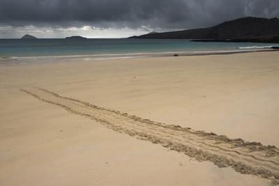 Galapagos Green Sea Turtle Tracks. Floreana Island, Galapagos, Ecuador-Pete Oxford-Photographic Print