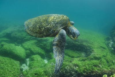 Galapagos Green Sea Turtle Underwater, Galapagos Islands, Ecuador-Pete Oxford-Photographic Print