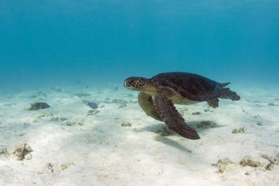 https://imgc.artprintimages.com/img/print/galapagos-green-sea-turtle-underwater-galapagos-islands-ecuador_u-l-pyrba80.jpg?p=0