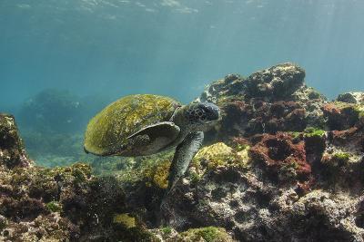 Galapagos Green Sea Turtle Underwater, Galapagos Islands, Ecuador-Pete Oxford-Photographic Print