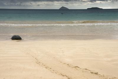Galapagos Green Turtle Nesting. Floreana Island, Galapagos, Ecuador-Pete Oxford-Photographic Print