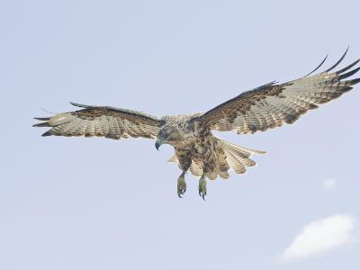 Galapagos Hawk (Buteo Galapagoensis) in Flight, Urbina, Isabella, Galapagos-Arthur Morris-Photographic Print