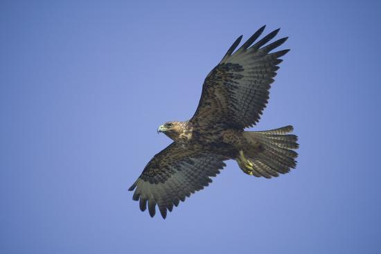 Galapagos Hawk in Flight-DLILLC-Photographic Print