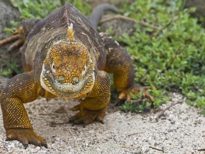Galapagos Land Iguana (Conolophus Subcristatus), Galapagos Is, UNESCO World Heritge Site, Ecuador-Michael Nolan-Photographic Print