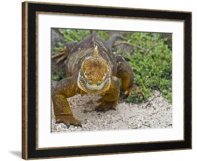 Galapagos Land Iguana (Conolophus Subcristatus), Galapagos Is, UNESCO World Heritge Site, Ecuador-Michael Nolan-Framed Photographic Print
