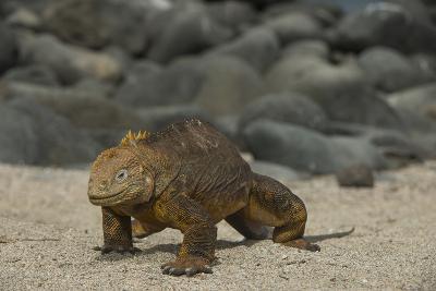 Galapagos Land Iguana, North Seymour Island Galapagos Islands, Ecuador-Pete Oxford-Photographic Print