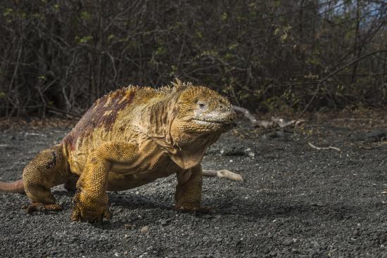 Galapagos Land Iguana, Urvina Bay Isabela Island, Galapagos, Ecuador-Pete Oxford-Photographic Print