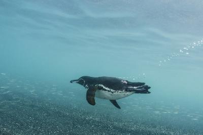 Galapagos Penguin (Spheniscus Mendiculus) Galapagos Islands, Ecuador-Pete Oxford-Photographic Print