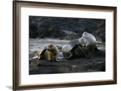 Galapagos Sea Lion and Pup on Rocks-DLILLC-Framed Photographic Print