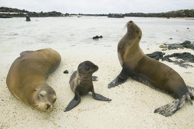 https://imgc.artprintimages.com/img/print/galapagos-sea-lion-family_u-l-pzrbmg0.jpg?p=0