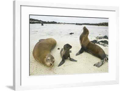 Galapagos Sea Lion Family-DLILLC-Framed Photographic Print