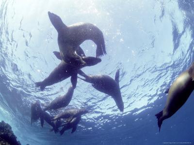 Galapagos Sea Lion, Frolicking Underwater, Galapagos-Mark Jones-Photographic Print