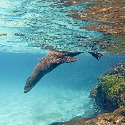 Galapagos Sea Lion Swimming Underwater, Ecuador--Photographic Print