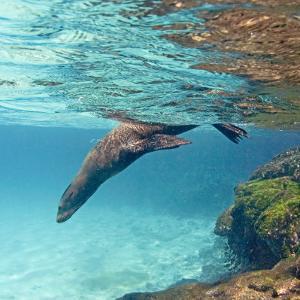 Galapagos Sea Lion Swimming Underwater, Ecuador