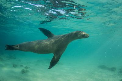Galapagos Sea Lion Underwater, Galapagos, Ecuador-Pete Oxford-Photographic Print