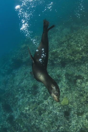 Galapagos Sea Lion Underwater, Galapagos, Ecuador-Pete Oxford-Photographic Print