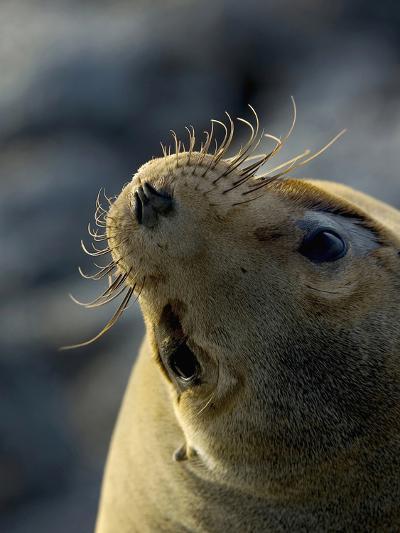 Galapagos Sea Lion, Zalophus Califoranius Wollebekii, South Plaza Island, Galapagos Islands-Gerald & Buff Corsi-Photographic Print