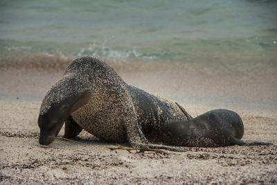 https://imgc.artprintimages.com/img/print/galapagos-sea-lions-gardner-bay-hood-island-galapagos-ecuador_u-l-pyqxq50.jpg?p=0