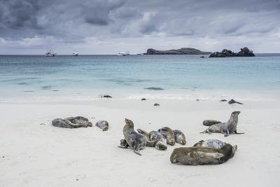 Galapagos Sea Lions Relaxing on the Beach-Jad Davenport-Photographic Print