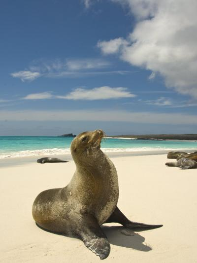 Galapagos Sea Lions Resting on a White Beach-Annie Griffiths Belt-Photographic Print