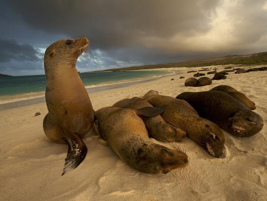 Galapagos Sea Lions, Zalophus Wollebaeki, on the Beach-Tim Laman-Photographic Print