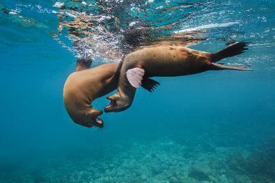 Galapagos Sea Lions (Zalophus Wollebaeki) Young Playing in Shallow Water-Alex Mustard-Photographic Print