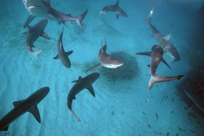 Galapagos Sharks Many Congregate in the Lagoon--Photographic Print