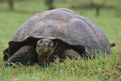 https://imgc.artprintimages.com/img/print/galapagos-tortoise-eating-grass_u-l-pzrcbg0.jpg?p=0