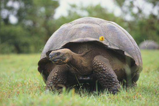 Galapagos Tortoise in the Grass-DLILLC-Photographic Print